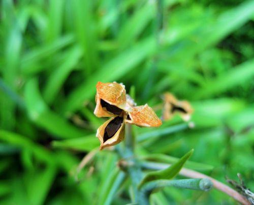Brown Seed Pod