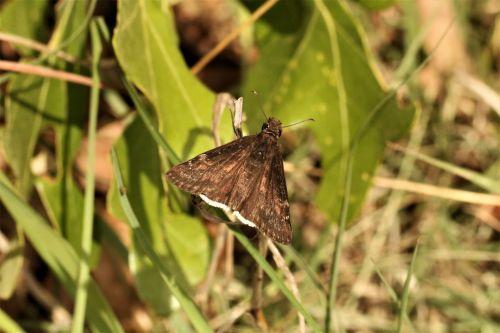 Brown Skipper Moth