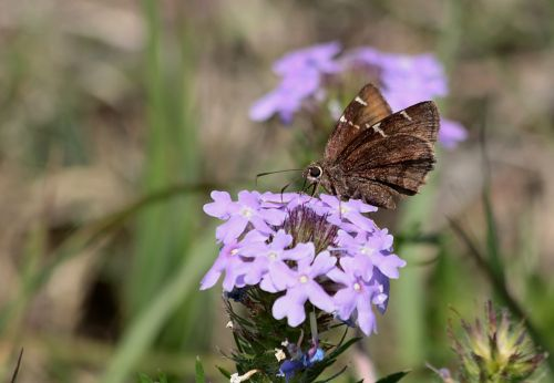 Brown Skipper On Purple Wildflower
