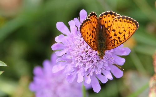 brown spotty mother of pearl butterfly butterfly wild flower