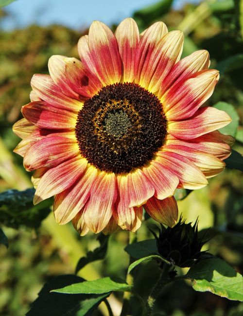brown sunflower brownish brown