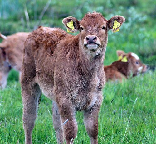 brown swiss bos primigenius taurus livestock