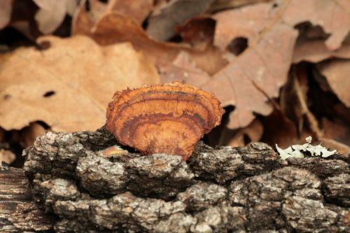Brown Turkey Tail Bracket Fungus