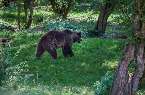 brown walking through trees  brown bear  forest