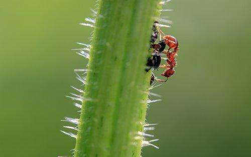 brown wegameise  lasius brunneus  ant