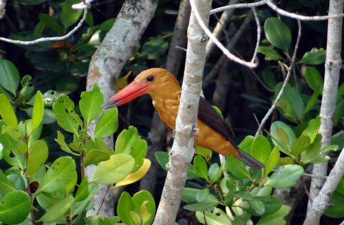 brown-winged kingfisher bird kingfisher