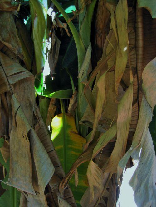 Browned Banana Leaves