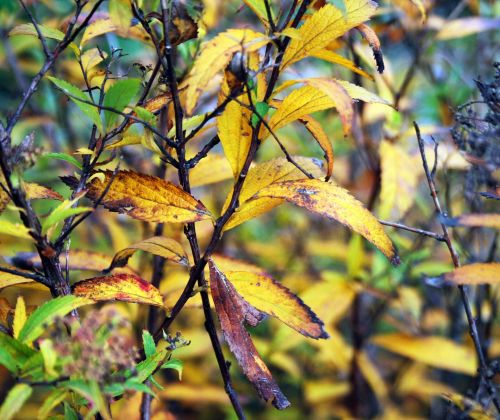 Browned Yellow Leaves