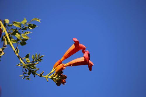 brugmansia sanguinea angel trumpet plant