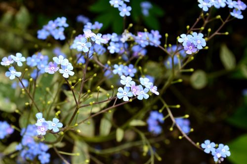 brunera wielkolistna bruner garden flowers