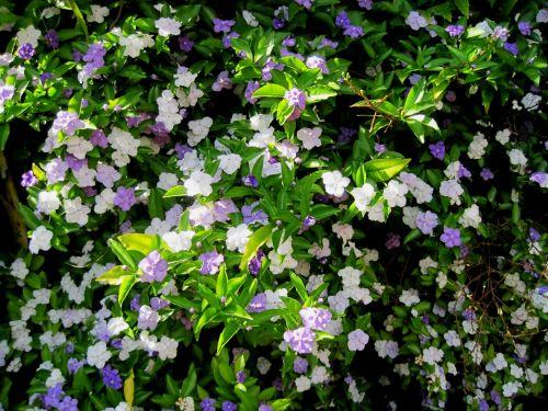 Brunfelsia Genus Shrub