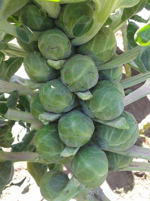 brussels vegetable brussels sprouts