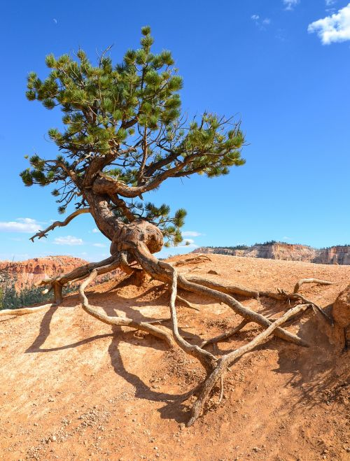 bryce canyon hoodos tree