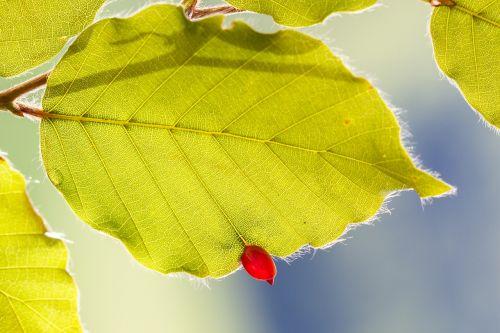 buchengallmücke bile parasite