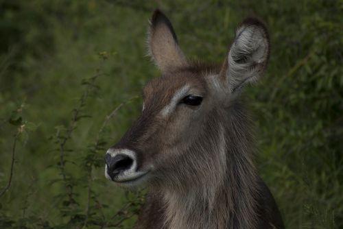buck waterbuck herbivore