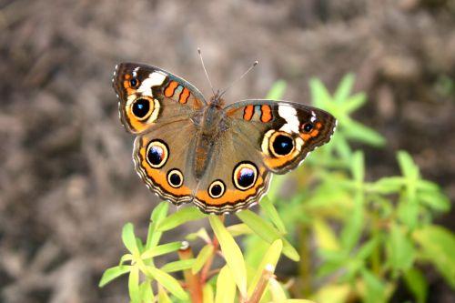 buckeye butterfly insect