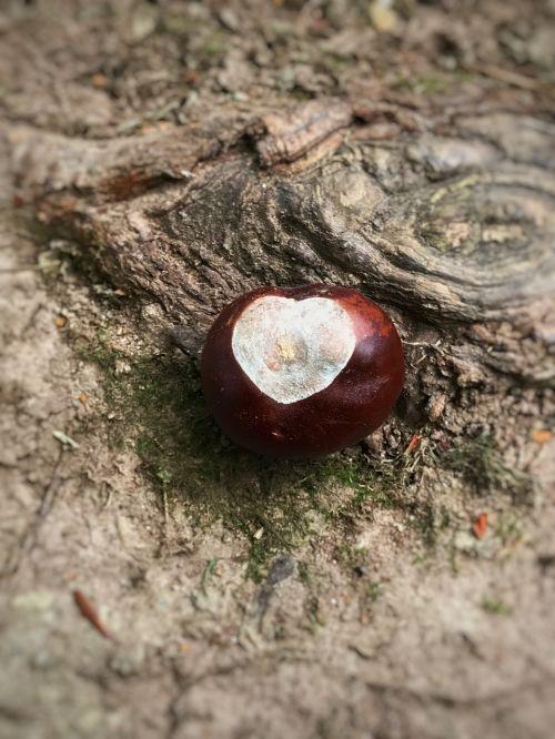 buckeye chestnut nature