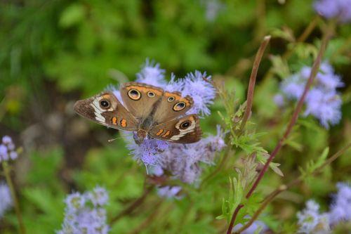 buckeye butterfly eupatorium greggi