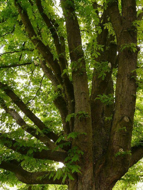 buckeye chestnut tree