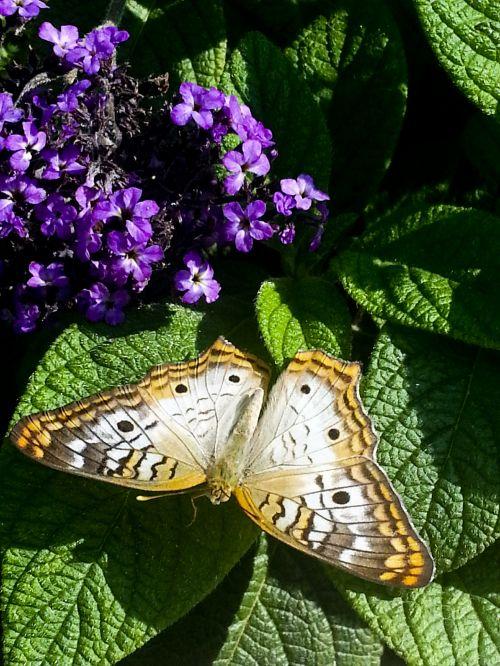 Buckeye Butterfly On Green Leaf