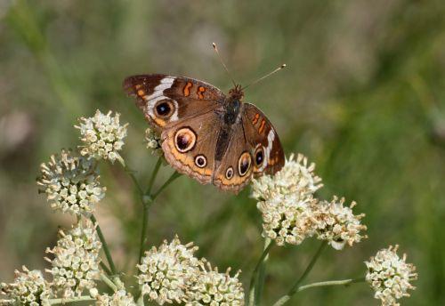 Buckeye Butterfly On White Wildflow