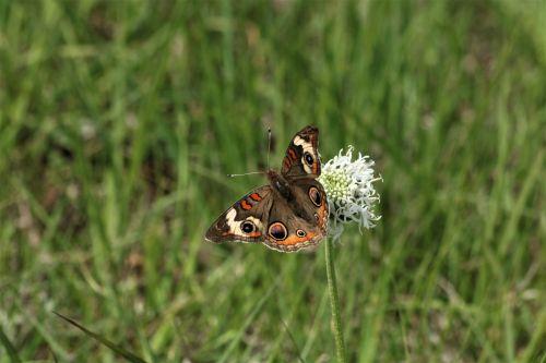 Buckeye Butterfly On Wildflower