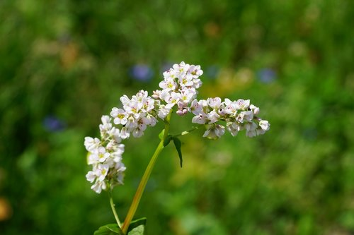 buckwheat  flower  blossom