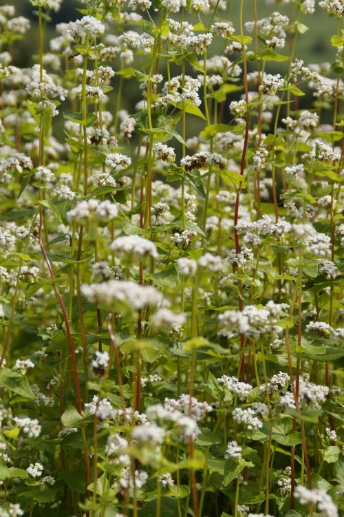 buckwheat close blossom