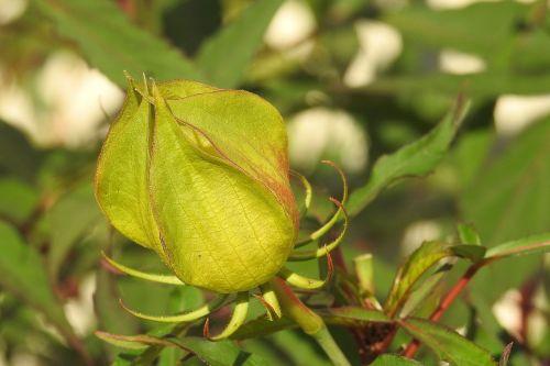 budas,Hibiscus budas,žalias