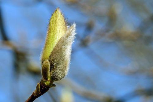 bud flower bud magnolia bud