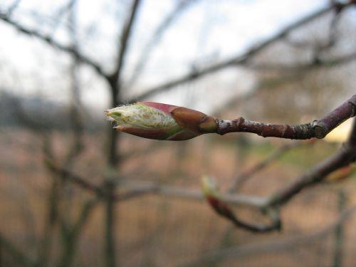 bud branch spring