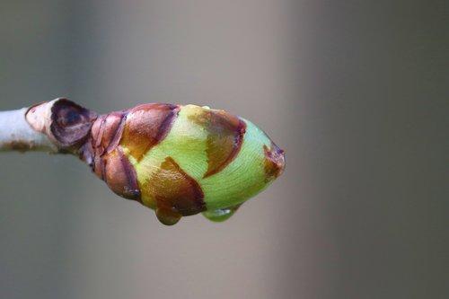 bud  chestnut  leaf bud