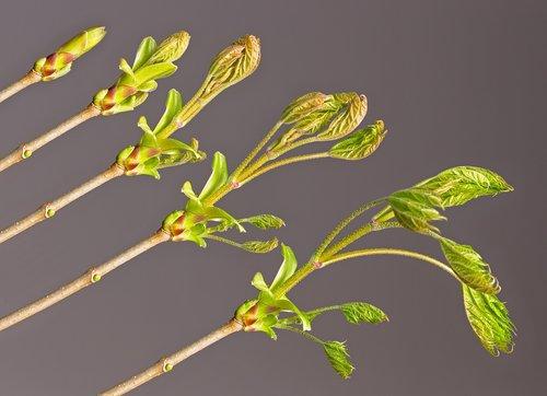 bud  leaf  development