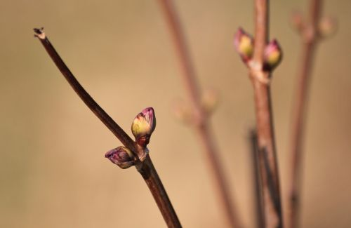 bud spring branches