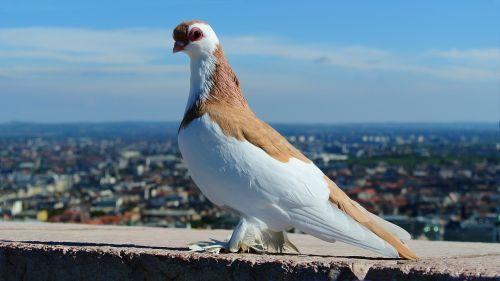budapest pigeon portrait