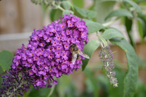buddlehia buddleja purple