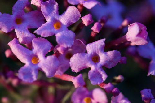 buddleja davidii butterfly bush lilac