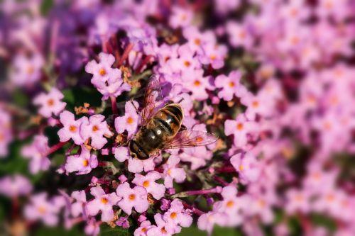 buddleja davidii butterfly bush hoverfly