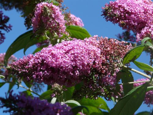 buddleja davidii summer lilac bush