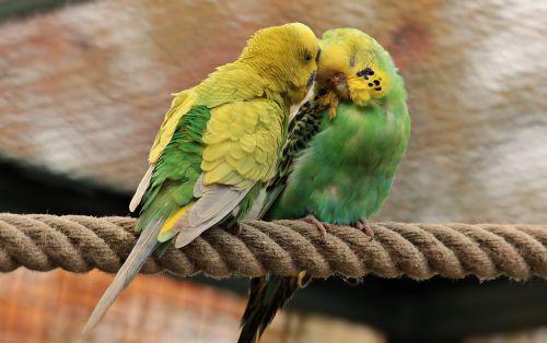 budgerigars birds green