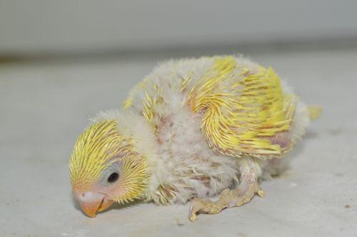 budgie chicks baby
