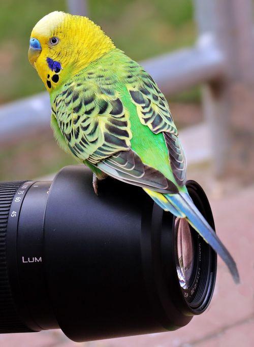 budgie bird green