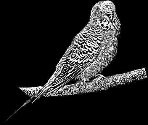 budgie  pet  pet bird