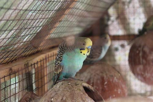 budgies shell parakeet birds flying