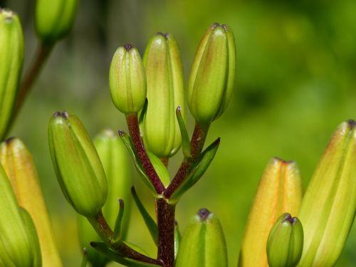 buds feuerlilie lilium bulbiferum
