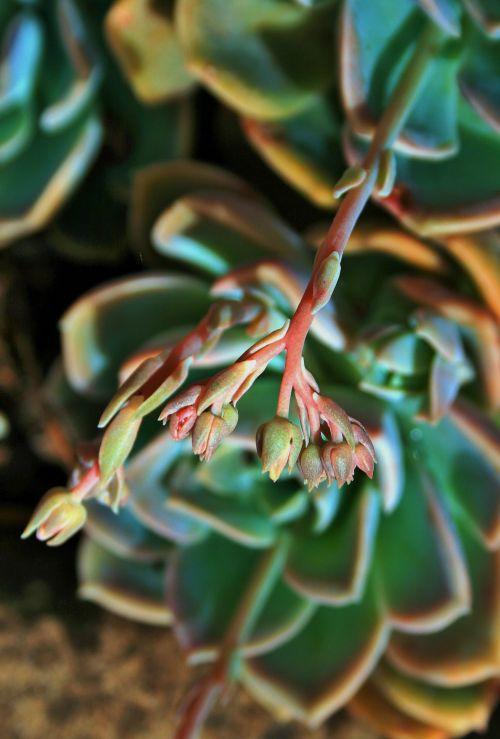 Buds Of Succulent Rose