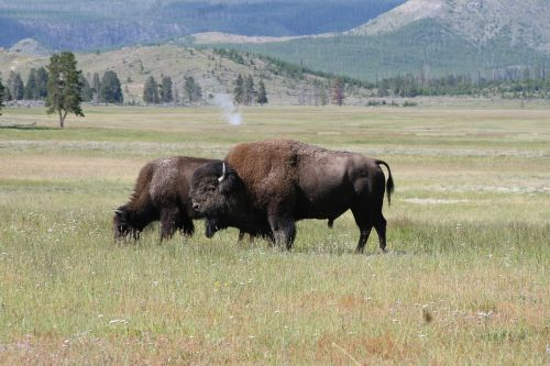 buffalo grazing wildlife