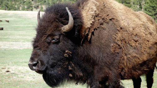 buffalo bison yellowstone