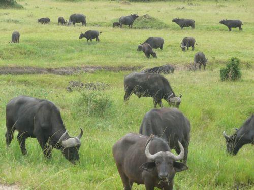 buffalo masai mara