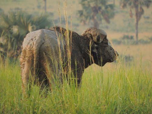 buffalo africa savannah